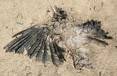 Dead crow on dirty road