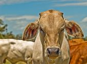 foto of charolais  - colorful image of Australian beef cattle charolais bred for meat  - JPG