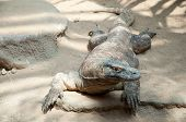 picture of komodo dragon  - Komodo Dragon  - JPG