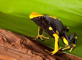 frog with bright orange and black colors. Poison dartfrog of amazon rainforest. Dendrobates tinctori