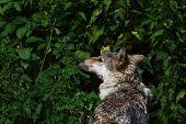 Wolf in the nettle