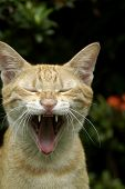 Brown Cat Yawning