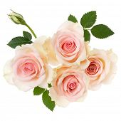pink roses isolated on white background closeup. Rose flower bouquet in air, without shadow. Top vie poster