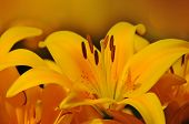 picture of northern hemisphere  - Lilium is a genus of herbaceous flowering plants growing from bulbs - JPG
