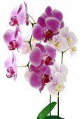 Lila und Rosa Orchideen