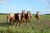 stock photo of workhorses  - Six Belgian workhorses in a grassy pasture in West Michigan - JPG