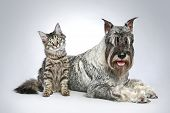 picture of schnauzer  - Dog of breed standard - JPG