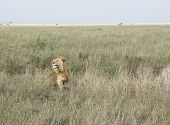 Male Lion In The African Savannah