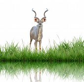 kudu with green grass isolated on white background