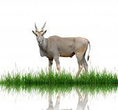 eland with green grass isolated on white background