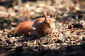 Cute And Furry Squirrel Is Sitting On The Dry Foliagein In City Park In The Rays Of The Sun poster