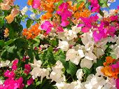 Flores de Bali