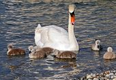 Mum Swan With Cygnets