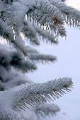Ice On Spruce