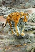 Bengal Tiger. Large Bengal tiger walking, endangered species poster