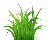 Green Grass Isolated On White Background, Tuft Of Grass, Fresh Spring Grass, Panoramic View, 3d. Vec poster