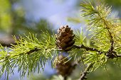 A Branch Of The Siberian Larch.