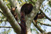 Indian Giant Squirrel Or Malabar Giant Squirrel, Ratufa Indica, Dandeli National Park, Karnataka, Da poster