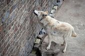 White Wolf (canis Lupus Albus Or Tundra Wolf) In Zoo Near Stone Wall. poster