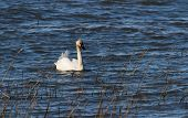 pic of trumpeter swan  - Trumpeter Swan at the coast of Vancouver - JPG