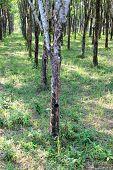 Para Rubber Tree Garden In Thailand
