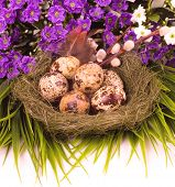 Nest with Easter quail eggs with flower on white background