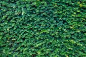 Closeup Fresh Green Christmas Leaves, Branches Of Thuja Trees On Green Background. Thuya Twig Occide poster