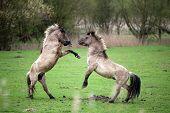 Wild horses in spring