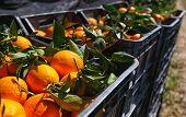 Black Plastic Fruit Boxes Full Of Oranges By Orange Trees During Harvest Season In Sicily. Harvestin poster