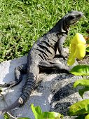 Iguana Basking In The Sun