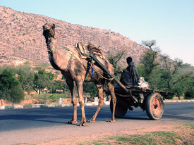 picture of camel-cart  - camel - JPG