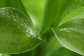 picture of bamboo leaves  - Nature Background Of Water Drops At Bamboo Leaves - JPG