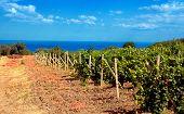 Vineyard Near Sea(Crimea , Ukraine)
