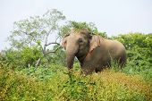 Elephant in the grass, Minneria national park, Sri Lanka