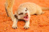 Meerkat or Suricate Pup