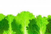Fresh Lettuce Border /  leaves isolated on white background / macro