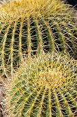 Thorns Of Barrel Cactus