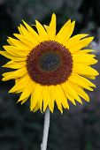 Blooming Sunflower (Helianthus)