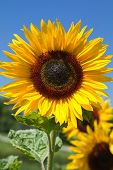 Blooming Sunflower (Helianthus) in a field