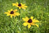 Wild Black Eyed Susans