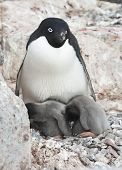 Female And Two Adelie Penguin Chicks In A Nest.