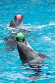 stock photo of oceanography  - Two dolphins playing in pool with balls - JPG