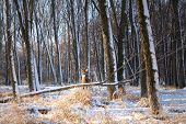 Beautiful Deer In Winter Woods