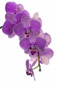 lilac orchid flowers isolated on white background