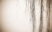 Hanging Birch Tree Branches