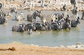 Herd of Burchells zebras in a watering hole