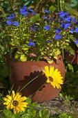 stock photo of lobelia  - Blue Lobelia and yellow Dimorphotheca flowers in the autumn garden - JPG