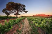 Vineyard sunset with lone tree