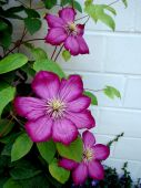 Clematis Against A Wall