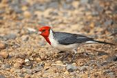 Red-Crested Cardinal